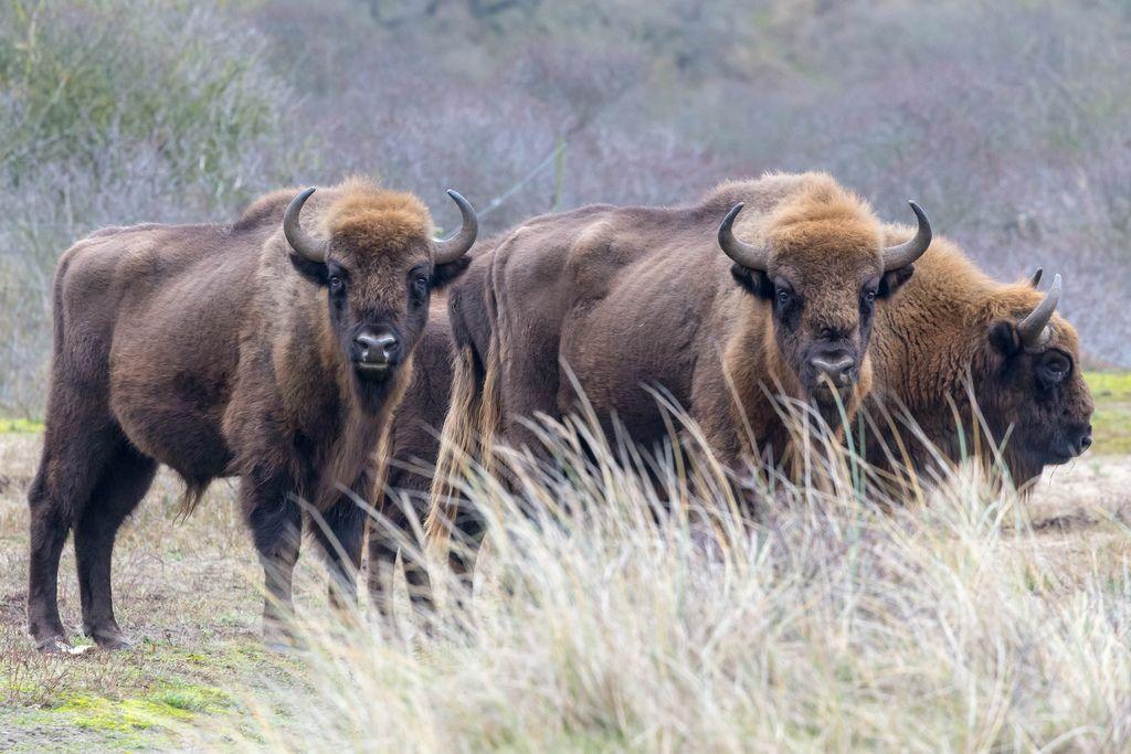 Group of European bisons in Dutch National Park near Zandvoort