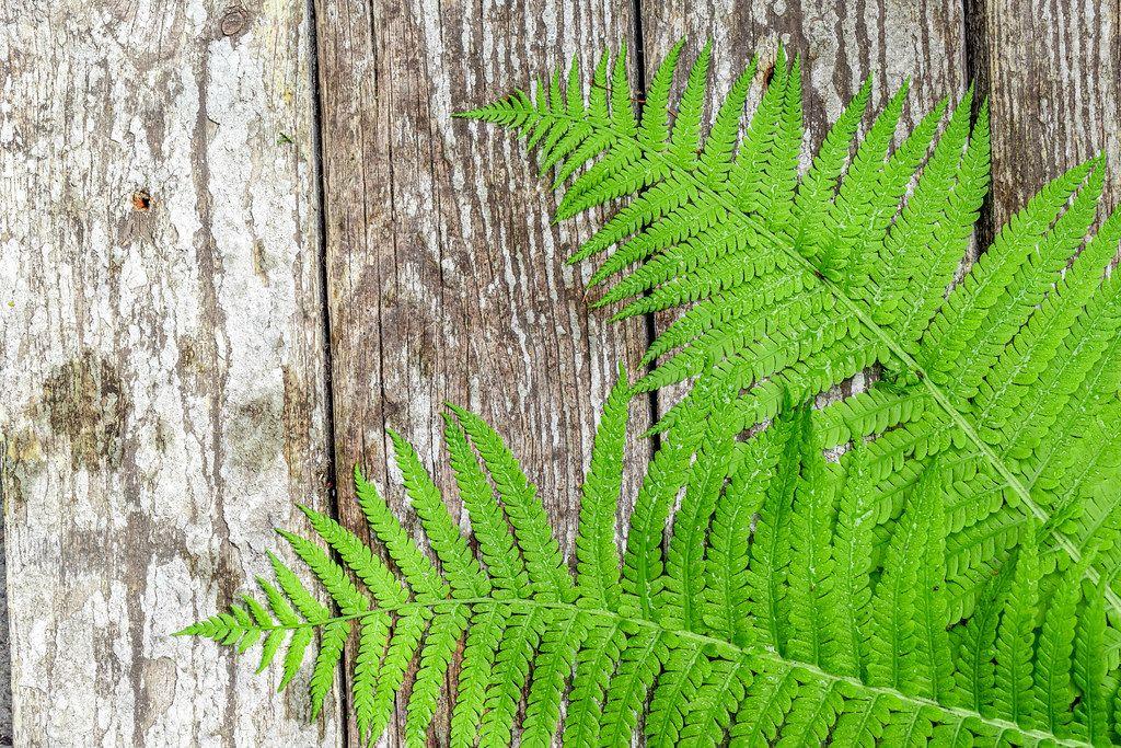 Grüne Farn-Blätter, vor einem Holzhintergrund
