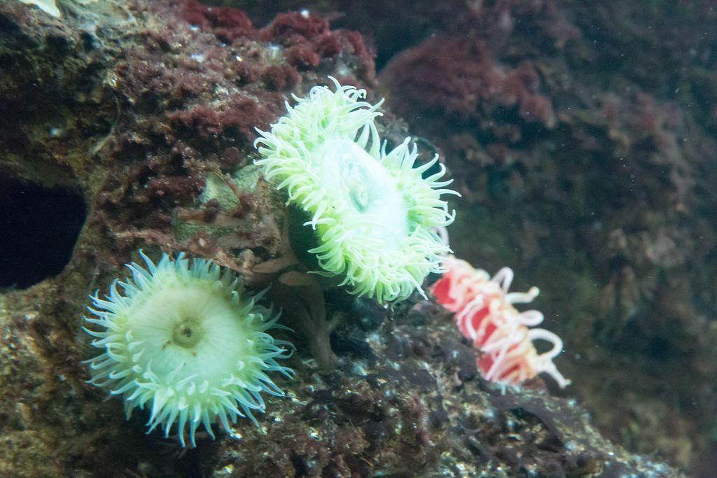 Grüne Riesenanemone (Anthopleura xanthogrammica) im Shedd Aquarium