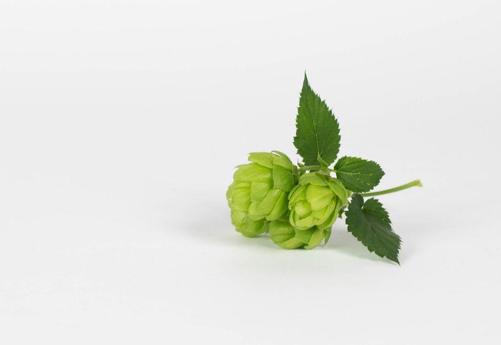 Grüner Hopfen vor weißem Hintergrund