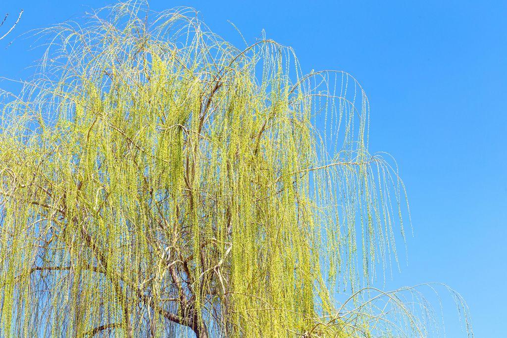 Grüner Weidenbaum vor blauem Himmel