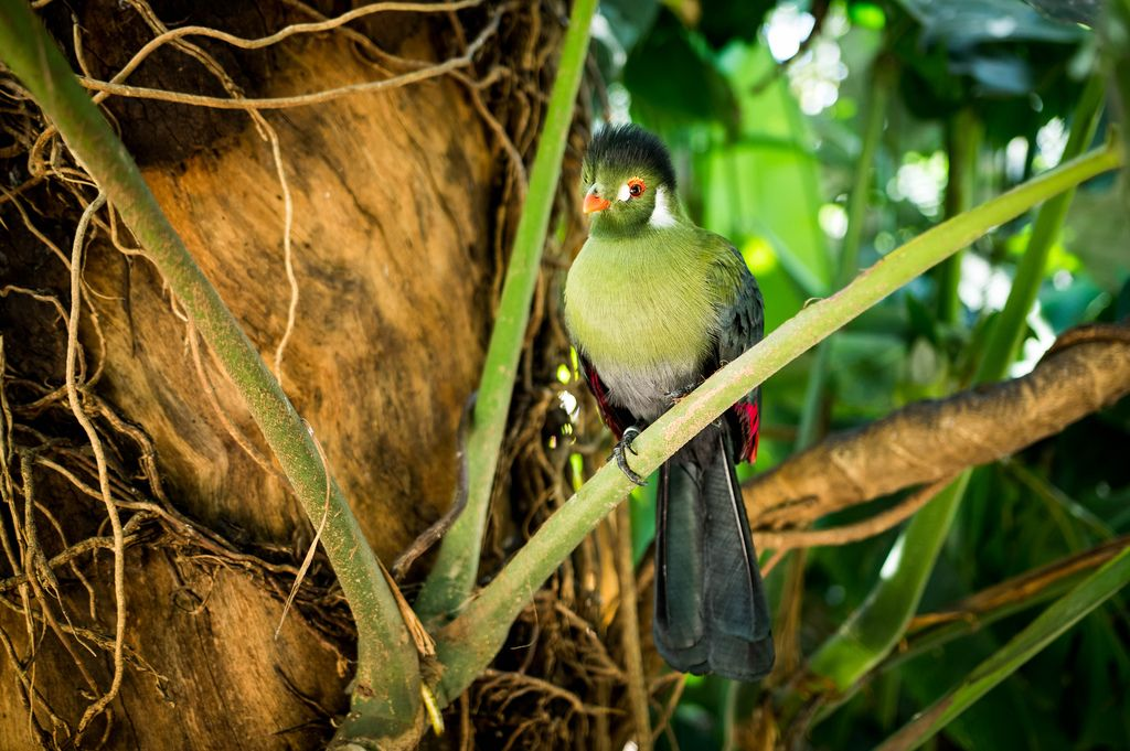 Guinea turaco bird on a tree
