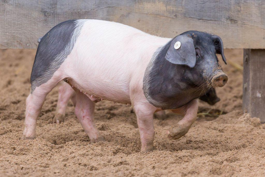 Hällisch-Fränkisches Landschwein (Mohrenköpfle)