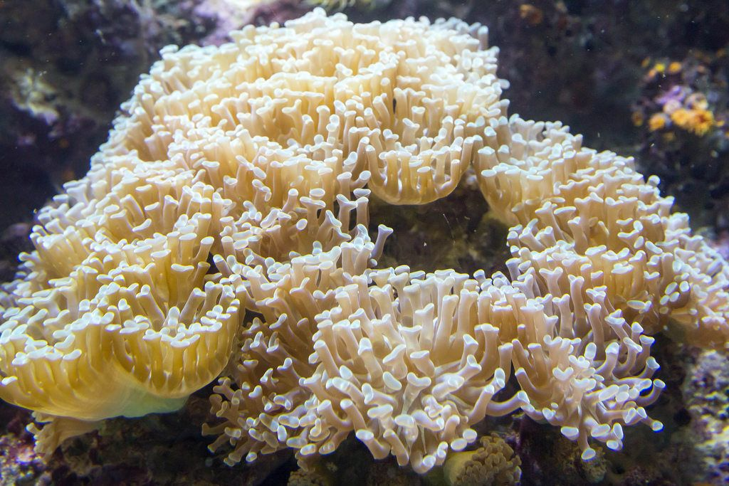 Hammer coral (euphyllia parancora) at Shedd Aquarium