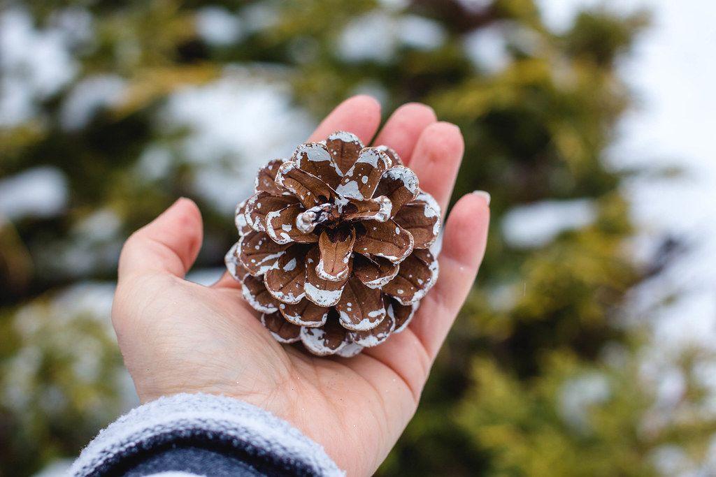 Hand Holding a Pine Cone_.jpg