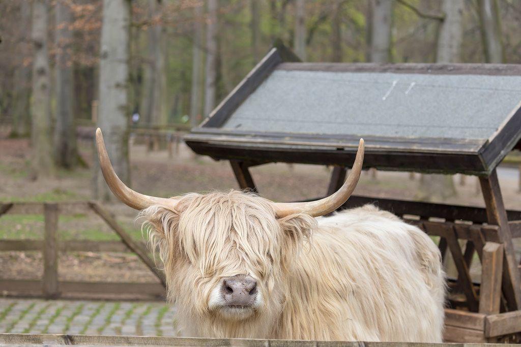 Hellhaariges Kyloe-Rind im Lindenthaler Tierpark