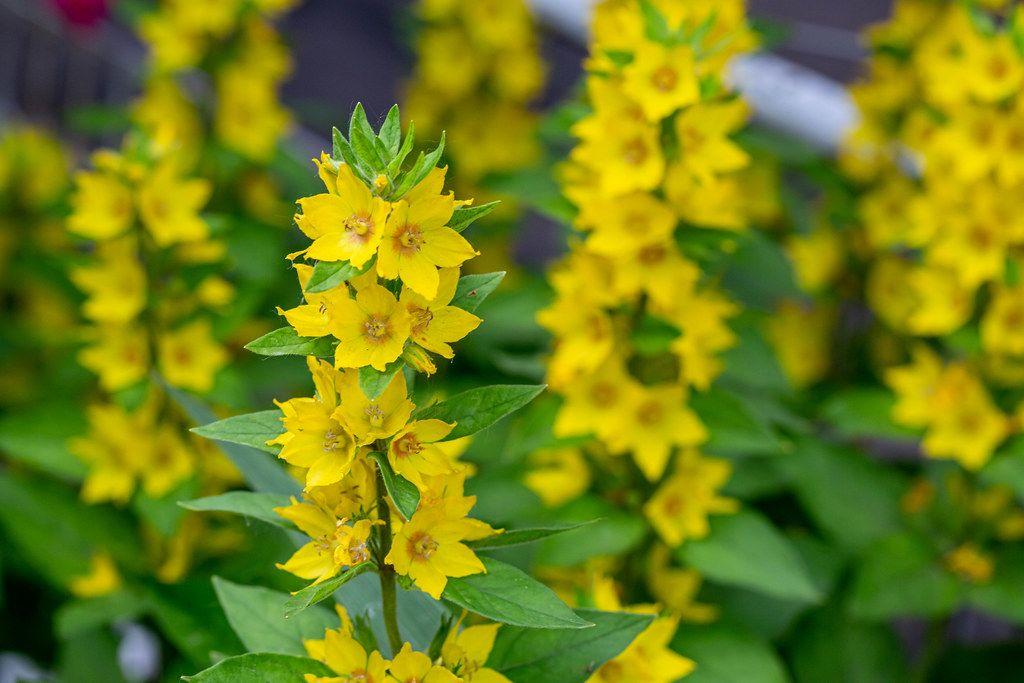 Hochgewachsene, gelbe Blumen blühen auf dem Blumenfeld im Garten
