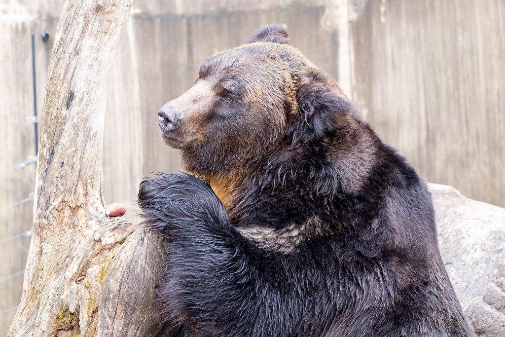 Hokkaido Brown Bear