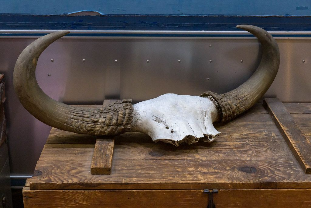 Horns as a hunting trophy on an old wooden chest