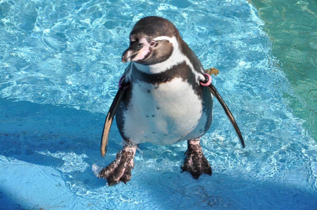 Humboldtpinguin im Wasser im Kölner Zoo