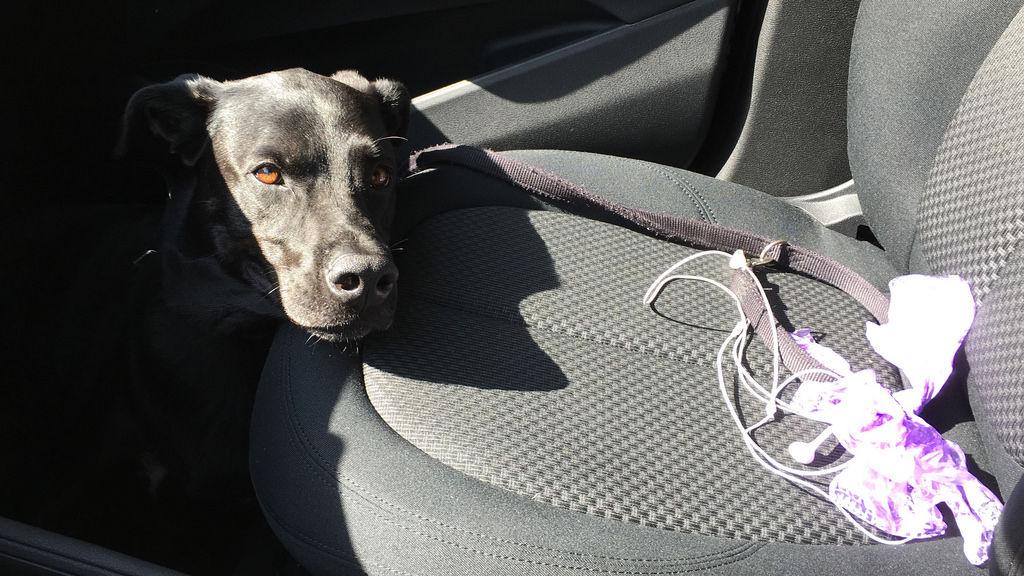 Hund im Auto im Sommer