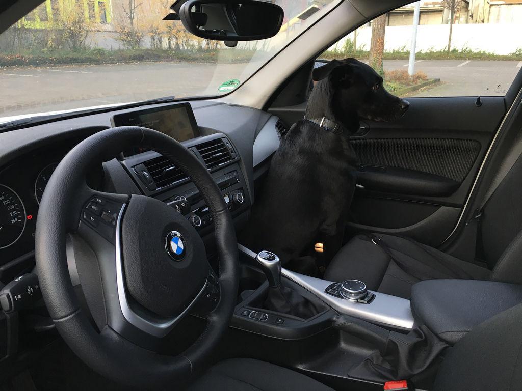 Hund in Auto