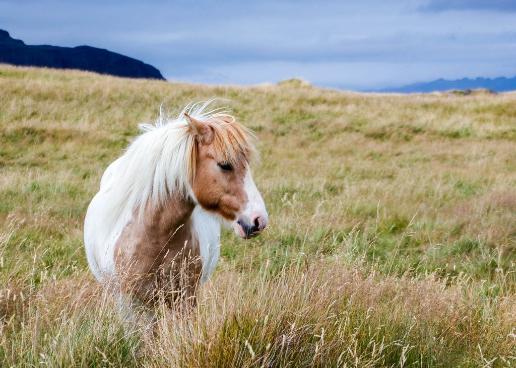 Iceland horse in a field