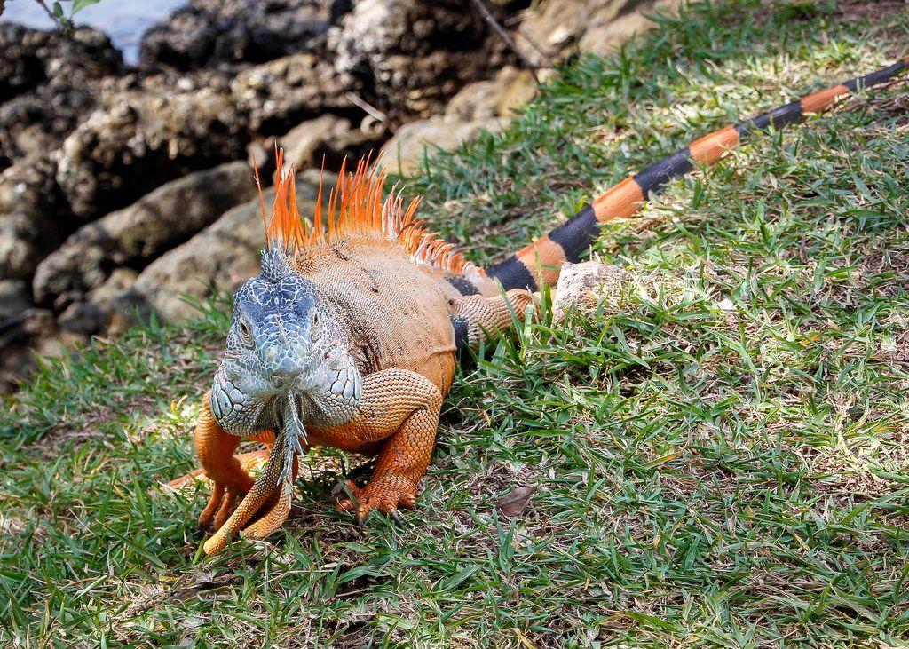 Iguana walking in the grass