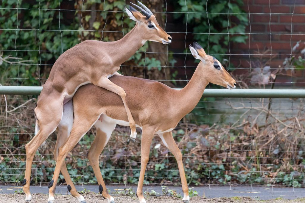 Impalas bei der Paarung (engl: Reproduction)