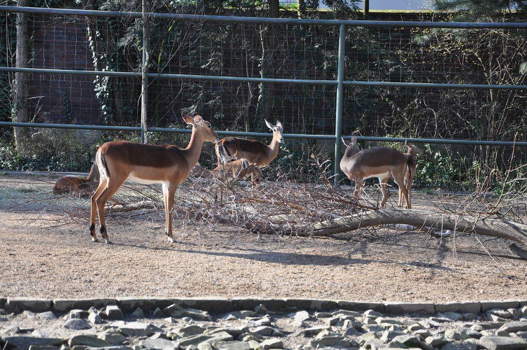 Impalas im Kölner Zoo