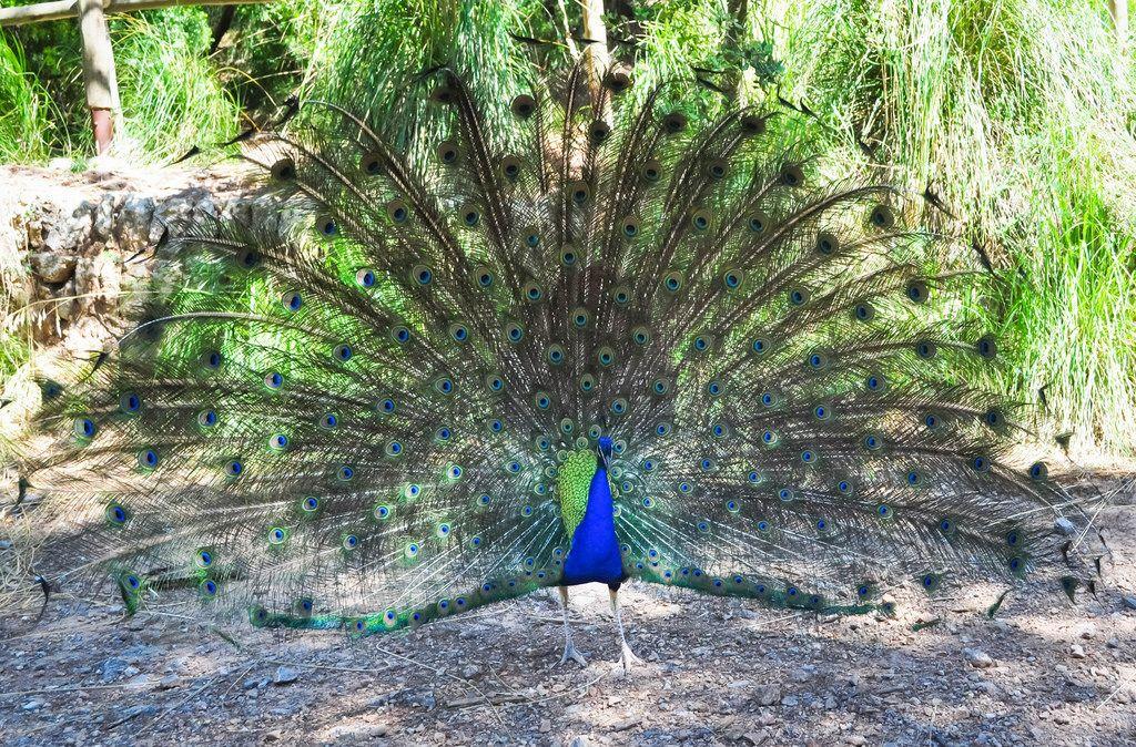 Indischer peafowl