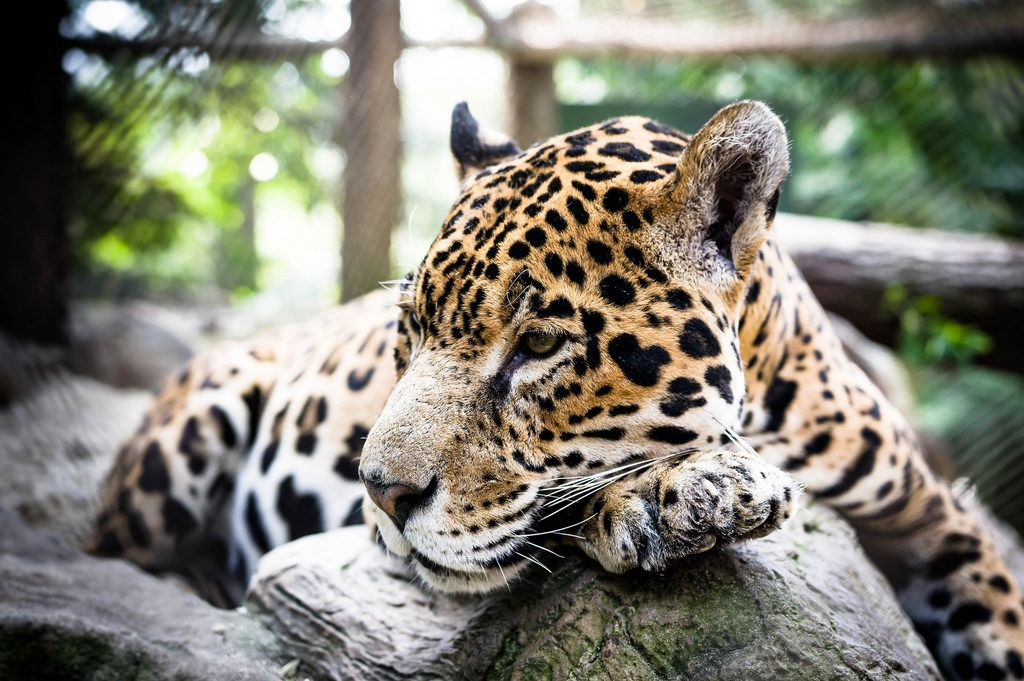 Jaguar (panthera onca) im Zoo