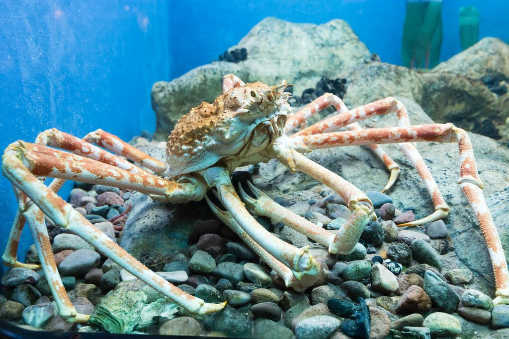 Japanese spider crab (Macrocheira kaempferi) at Shedd Aquarium
