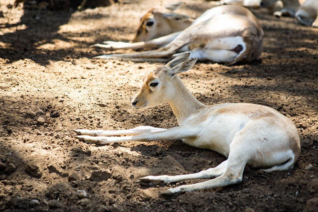 Junge weiße Hirschziegenantilopen liegen auf der kühlen Erde