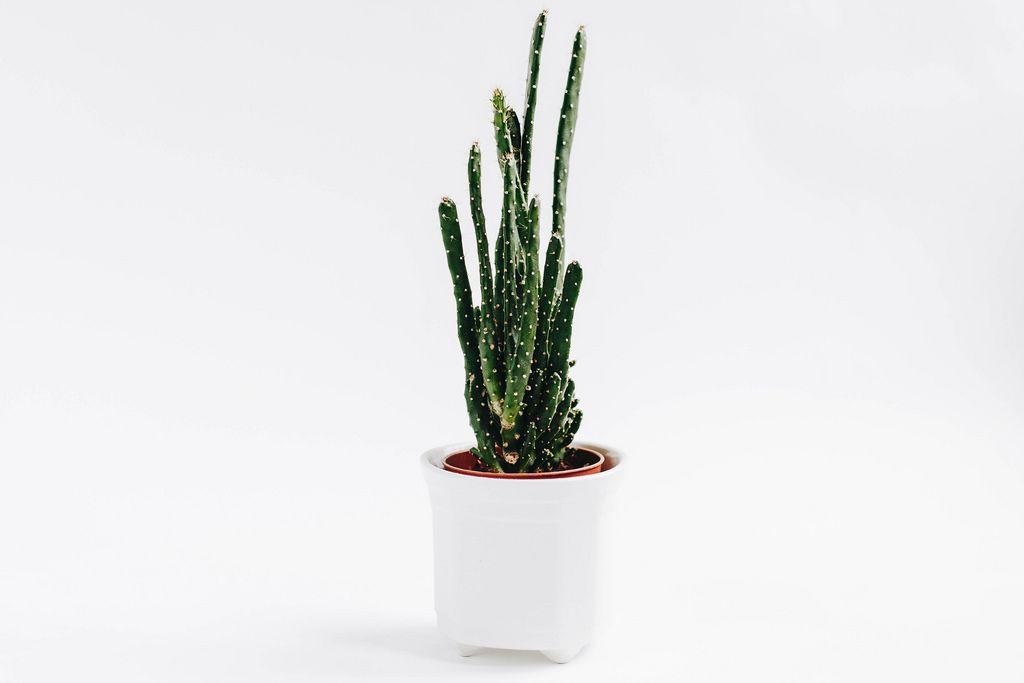 Kaktus im Pflanzentopf vor weißem Hintergrund