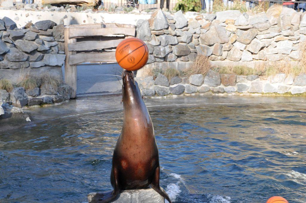 Kalifornischer Seelöwe balanciert einen Basketball auf seiner Schnauze