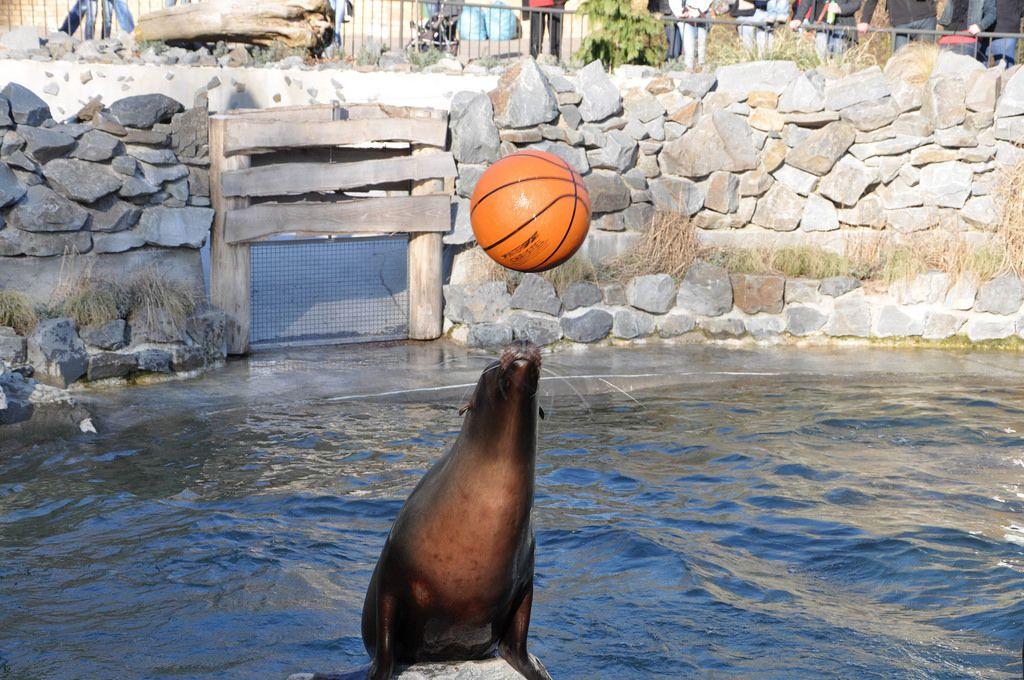 Kalifornischer Seelöwe spielt mit einem Basketball