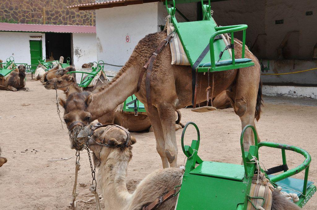Kamele mit grünen Satteln für zwei Personen