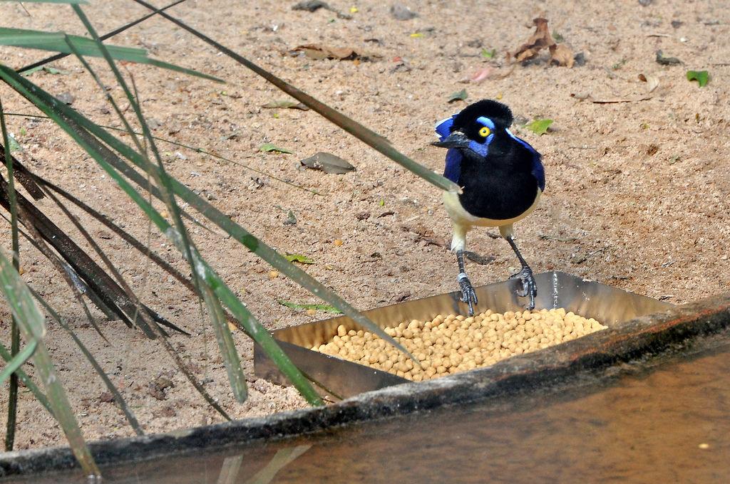 Kappenblaurabe (Gralha-Picaça) im Vogelpark Parque das Aves
