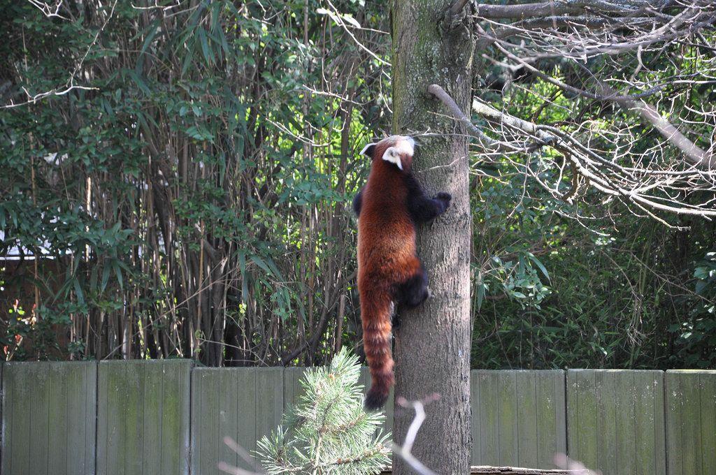 Kleiner Panda klettert auf einen Baum