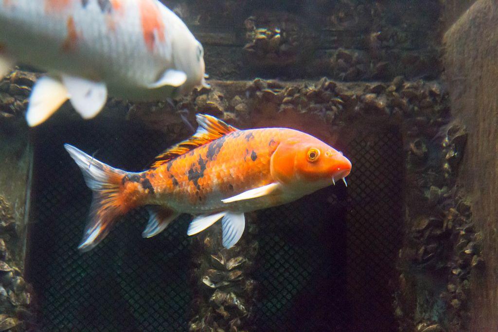 Koi (Cyprinus carpio) im Shedd Aquarium