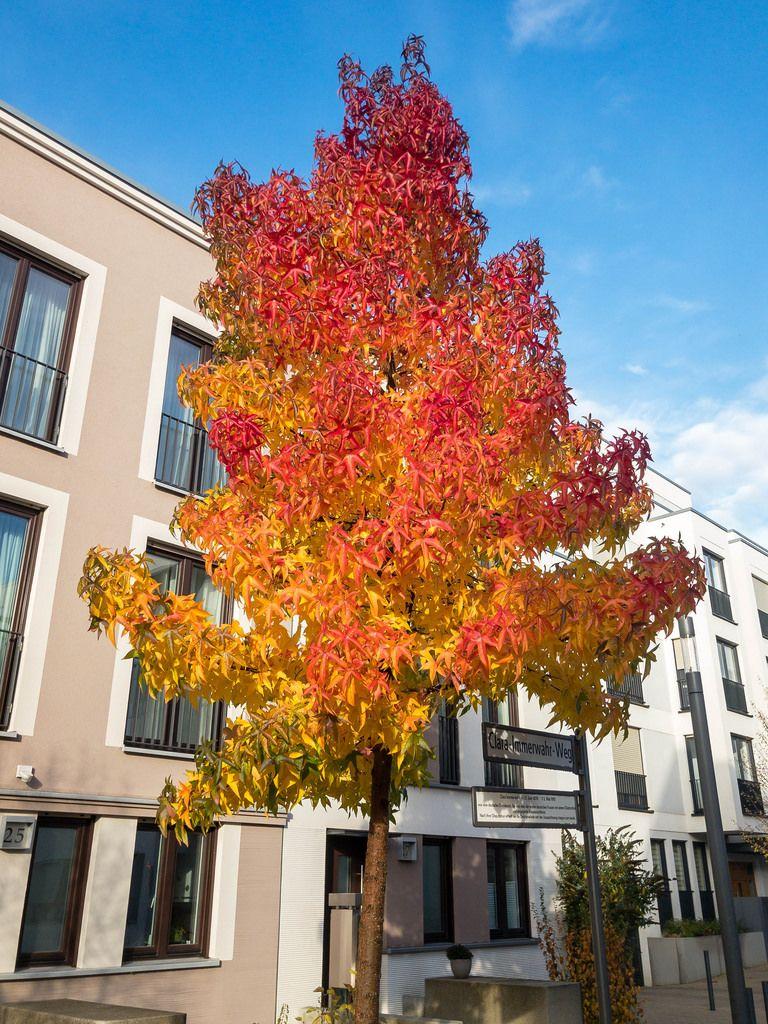 Kölner Wohngebäude hinter herbstfarbenen Ahornbaum und unter blauem Himmel