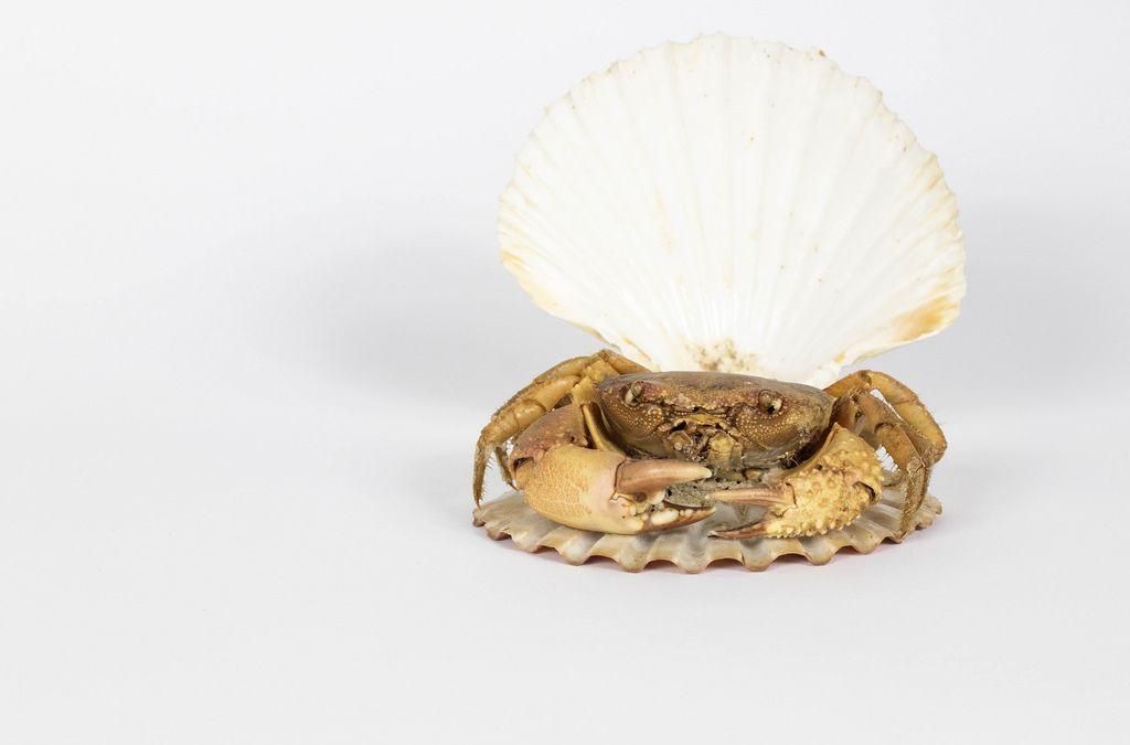 Krabbe in einer Muschelschale