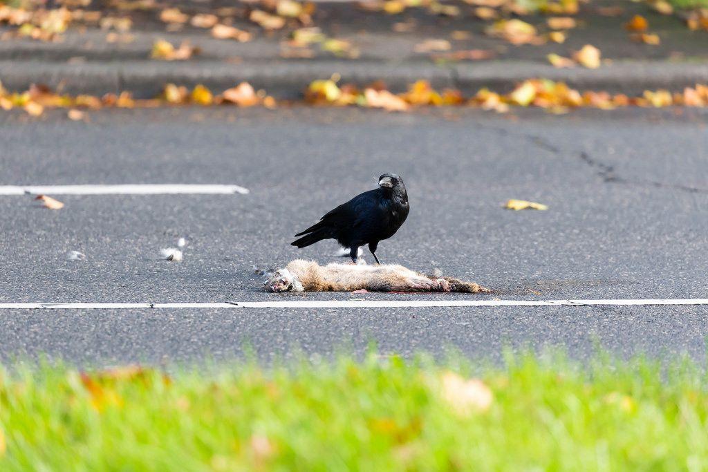 Krähe isst überfahrenen Hasen