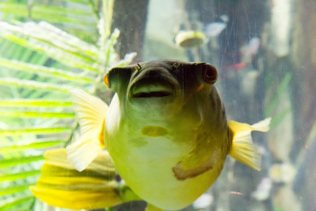 Kugelfisch (Tetraodon pustulatus) im Shedd Aquarium