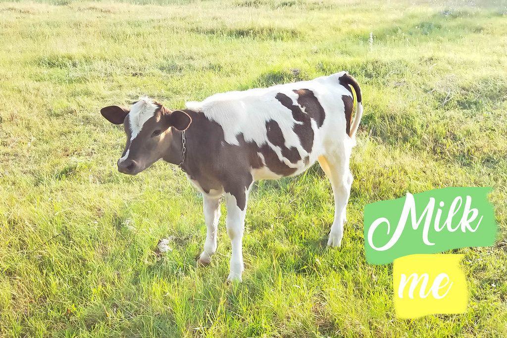Kuh auf dem Feld