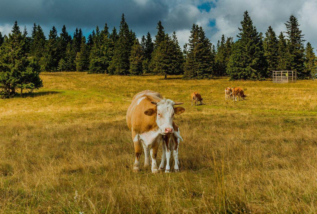 Kühe im Freien