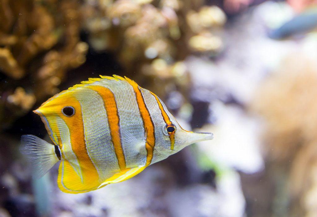 Kupferstreifen-Pinzettfisch (Chelmon rostratus) im Shedd Aquarium