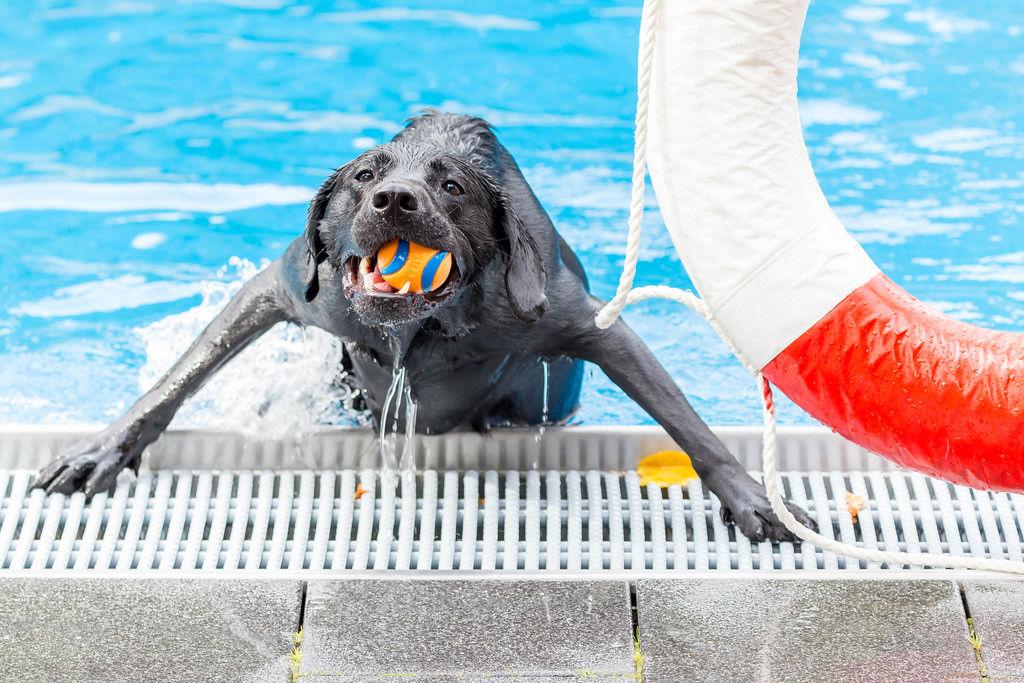 Labrador mit Hundespielzeug
