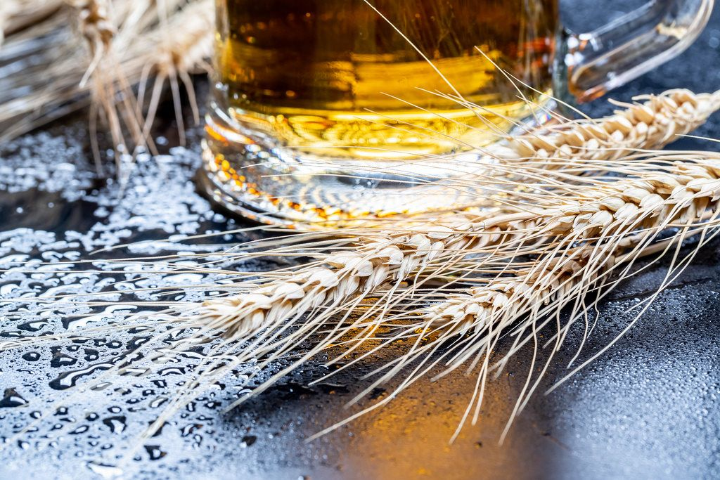 Light beer in a glass with wheat spikelets and water drops