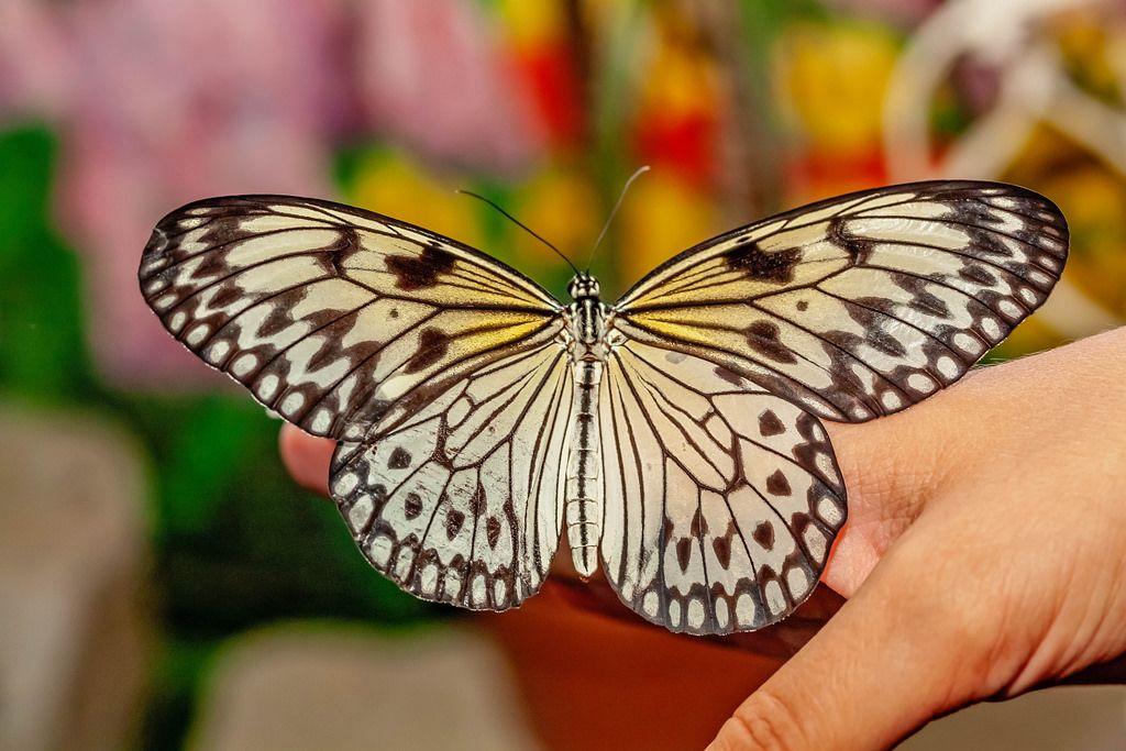 Live butterfly idea leuconoe on hand