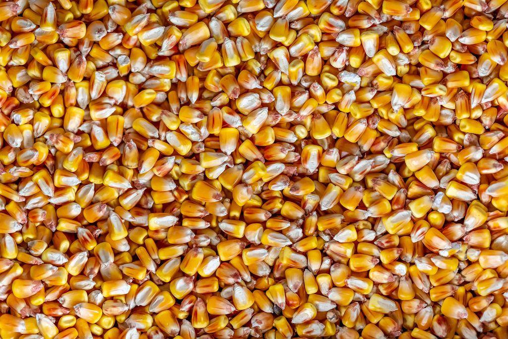 Lose Maiskörner als Vollbild