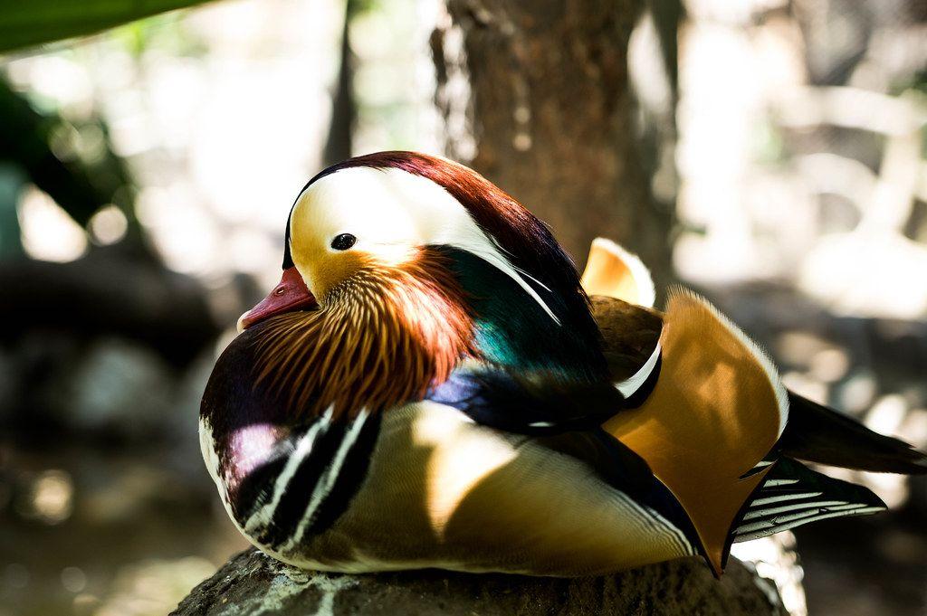Madarin duck sitting still