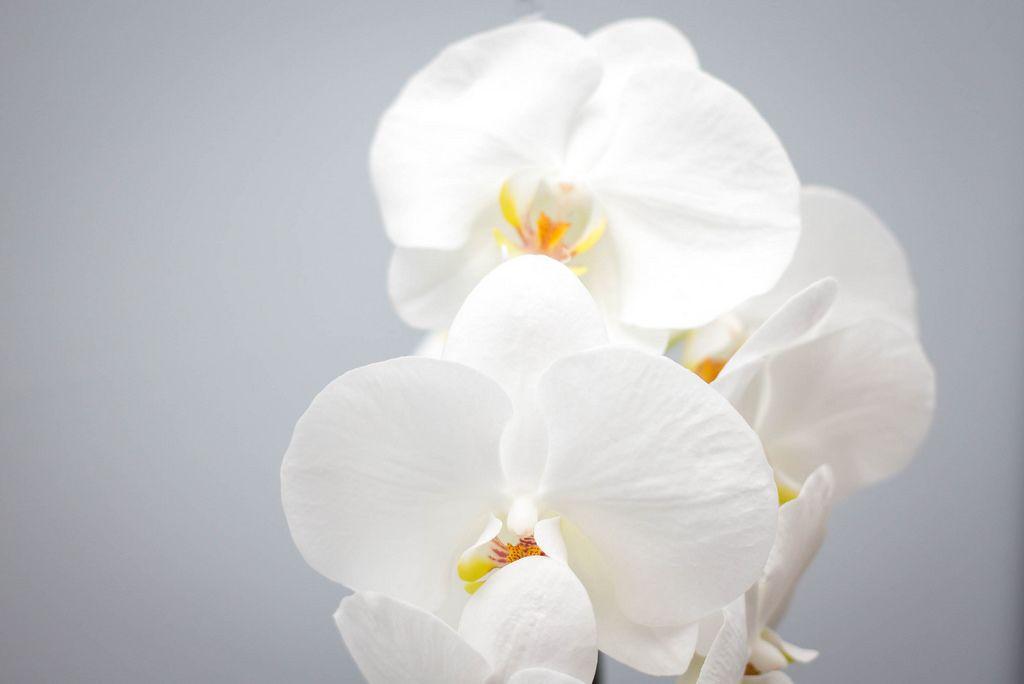 Makro Nahaufnahme - Weiße Orchideenblüten auf weißem Hintergrund