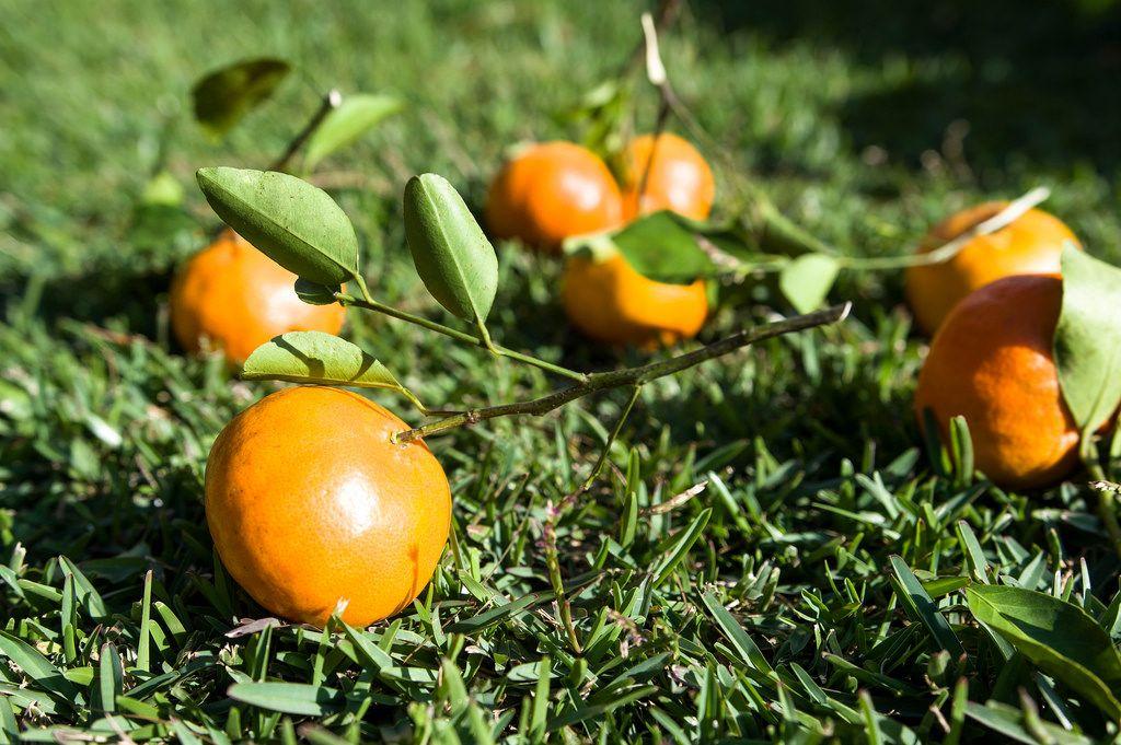 Mandarin-Orange auf dem Rasen