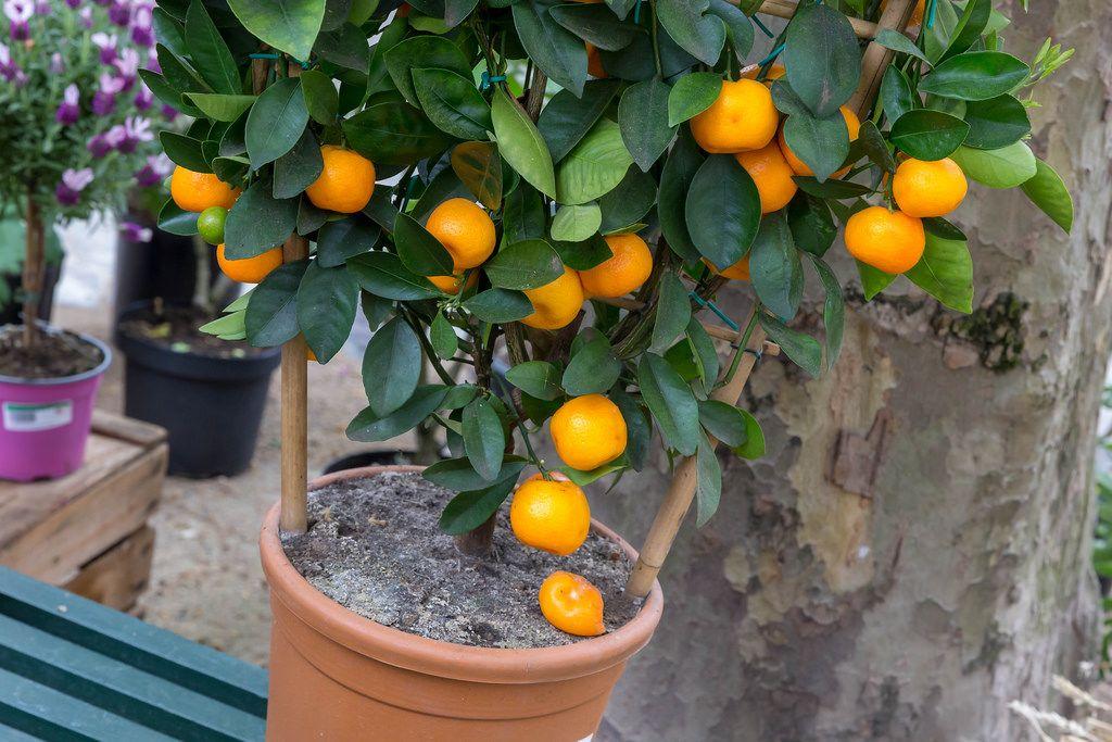 Mandarinenbaum mit reifen Mandarinen