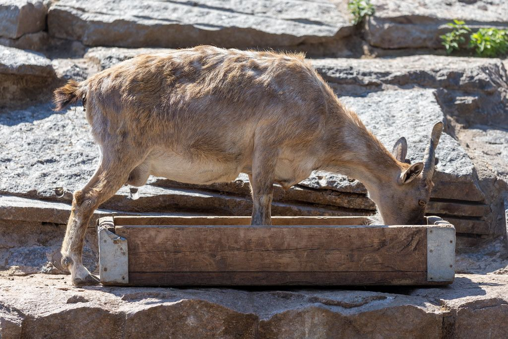 Markhor im Moskauer Zoo