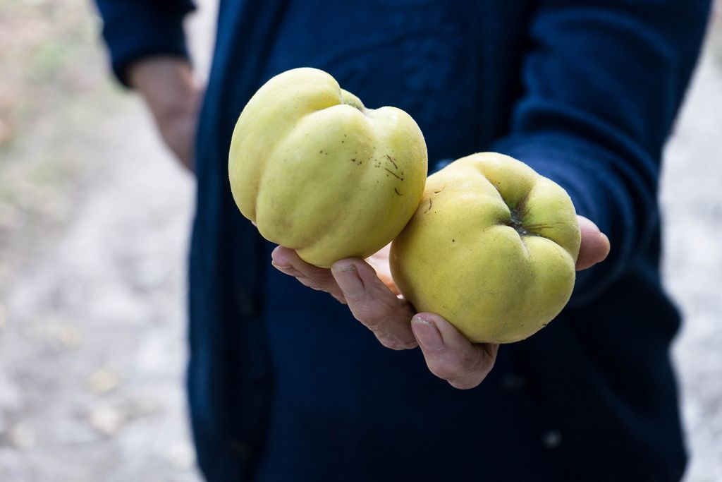 Midsection of the Old Woman Holding Two Quinces In One Hand