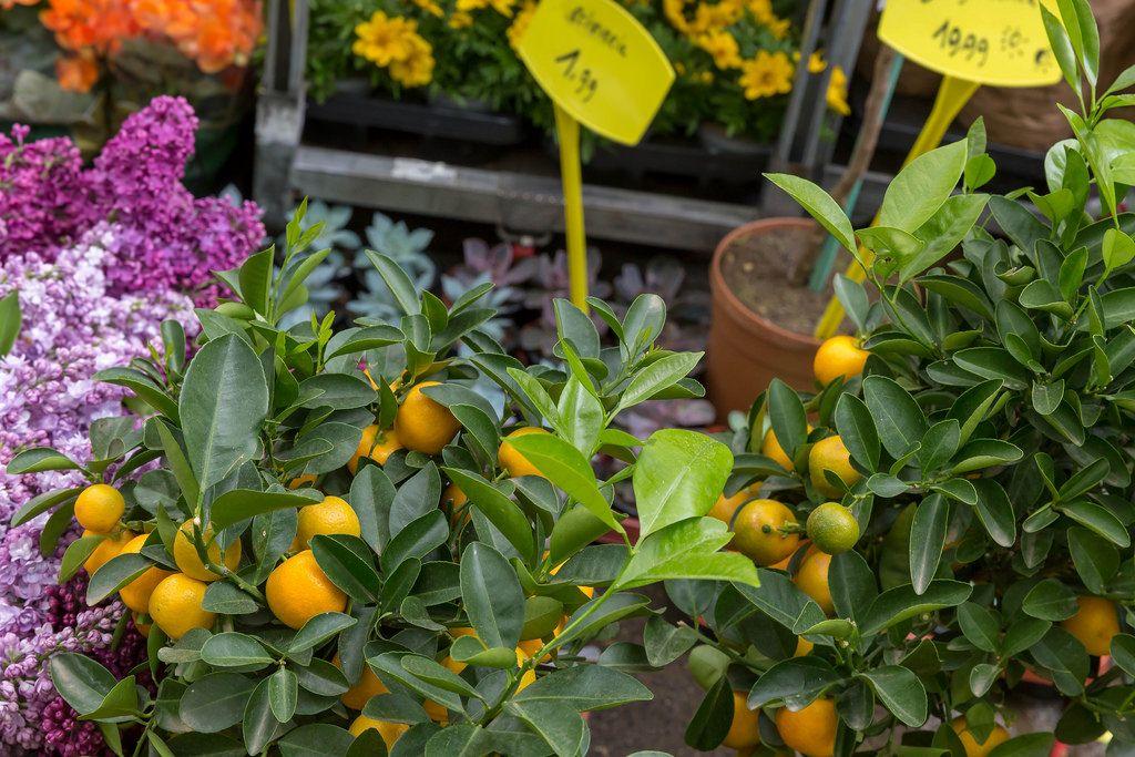 Mini Mandarinen am Mandarinenbaum