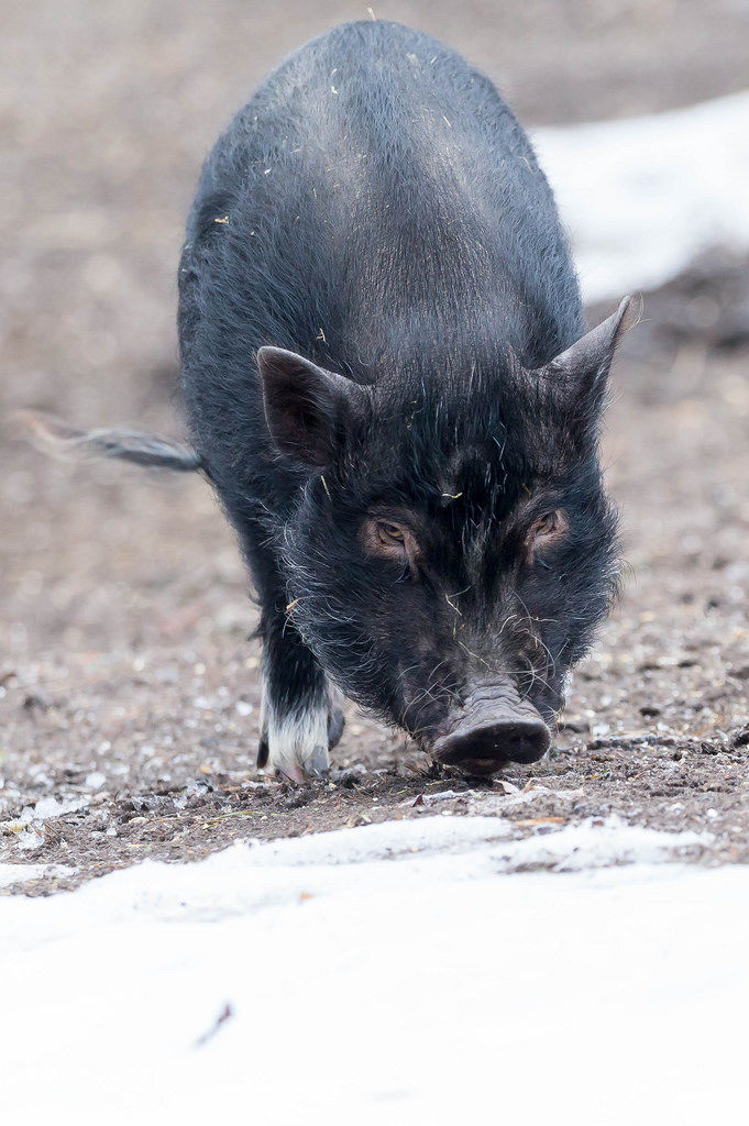 Mini-Schwein